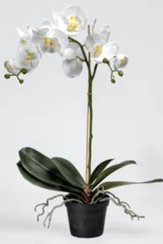 Orkide hvit L